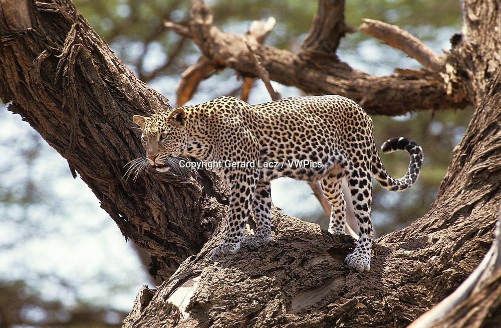 Leopard, panthera pardus, Adult standing in Tree, Nakuru Park in Kenya