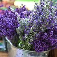 'Munstead' and 'Hidcote' English lavender in a metal basket at  farmers market. (Lavandula angustifolia 'Munstead' and Lavandula angustifolia 'Hidcote').