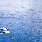 Trumpeter swan (Cygnus buccinator) pair on the Yellowstone RIver, Yellowstone National Park.