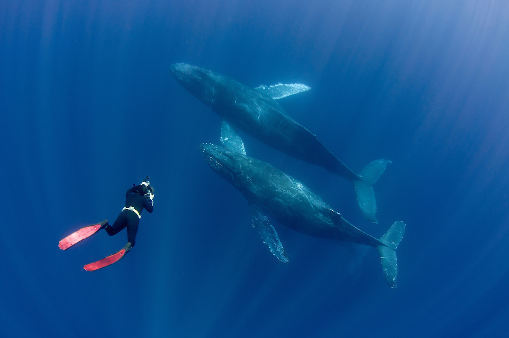 Freediver swimming down to photograph a pair of humpback whales.