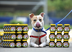 "© under license to London News Pictures. LONDON, UK  06/05/2011.Cleo, licking her lips, guards the 100 pots Dogs Enjoying Marmite at Battersea Dogs and Cats Home today (06 May 2011). 100 Jars were delivered to the home as part of a prize. You either love it or hate it, but at Battersea, marmite is causing quite a stir amongst the dogs. Jars of the yeast extract, which has polarised the nation into lovers and haters, are polished off in no time by Battersea's canine residents who have developed quite a taste for the spread. Today 100 of the famous yellow topped glass jars will cause tails to wag in the kennels when they are delivered to the Home. The year's supply of Marmite is a rather unusual, but very welcome prize to Battersea Chief Executive Claire Horton who will be presented with one of the first ever Dogs Today Endal Awards for Services to Animals. Claire Horton who requested the prize for the dogs, in favour of the usual dog food awarded,  commented: ""Battersea dogs definitely 'love it' when it comes to Marmite. We like to provide our dogs with lots of different activities throughout the week to try and help them cope better in a kennel environment. One of the dogs' favourites is licking Marmite from chew toys - it keeps them entertained for hours."" Claire will be presented with her Endal Award by Marmite Brand Manager David Titman at the 2011 London Pet Show, taking place at Kensington Olympia, tomorrow, Saturday 7th May.Photo credit should read Stephen Simpson/LNP."