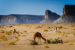 Wild camels wandering in the Moroccan desert.<br /> <br /> (c) Andrew Wilson | Edinburgh Elite media