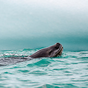A leopard seal comes up for air next to an iceberg at Hydrurga Rocks near Two Hummock Island on the Antarctic Peninsula. The rocks are named after the leopard seals (Hydrurga leptonyx) known to frequent the area.