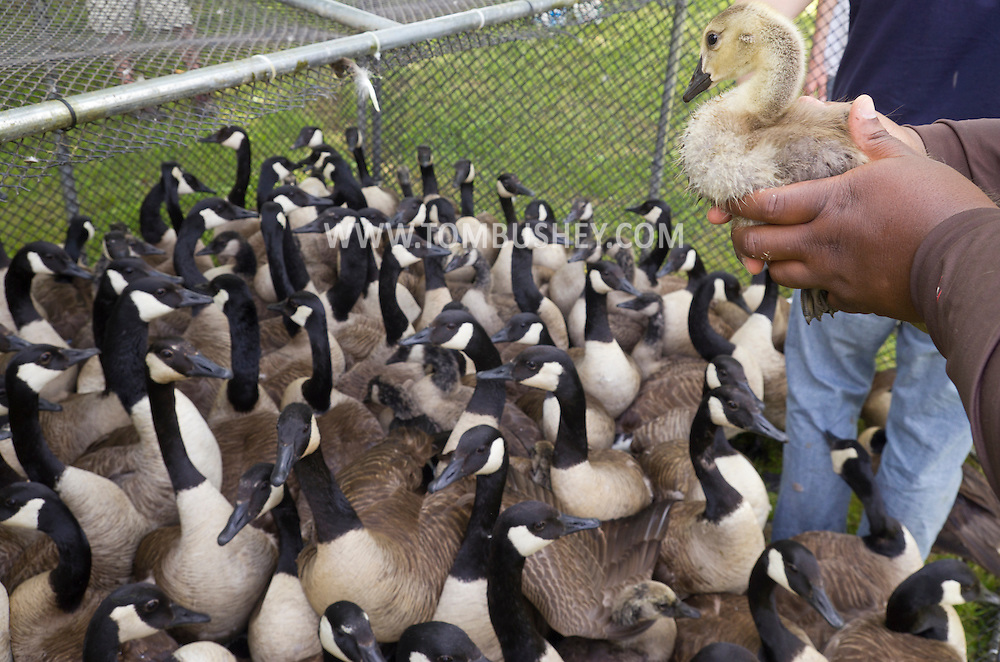 Middletown, New York -  A team from the New York State Department of Environmental Conservation rounds up and then bands Canada geese at the National Shrine of Our Lady of Mount Carmel on June 23, 2014.