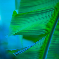Mai`a, Banana Plantation,  Banana leaf in blue shadows of Koolau Mountains in Kaneohe