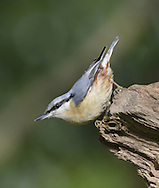 Nuthatch Sitta europaea L 14cm. Dumpy, short-tailed woodland bird that often descends tree trunks head-first. Sexes are similar. Adult has blue-grey upperparts, black eyestripe, white cheeks and orange-buff underparts; on average, males are more reddish buff on flanks than females. Juvenile is similar but duller. Voice Utters a loud zwiit, repeated if bird is agitated. Song is a series of whistling notes. Status Fairly common resident of deciduous and mixed woodland, and gardens, mainly in England and Wales.