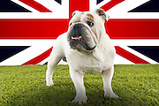Full-length of British Bulldog standing in front of Union Jack