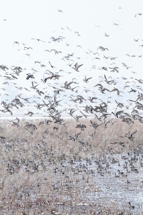 Northern Pintails, Anas acuta, Mallards, Anas platyrhynchos, Brown County, South Dakota