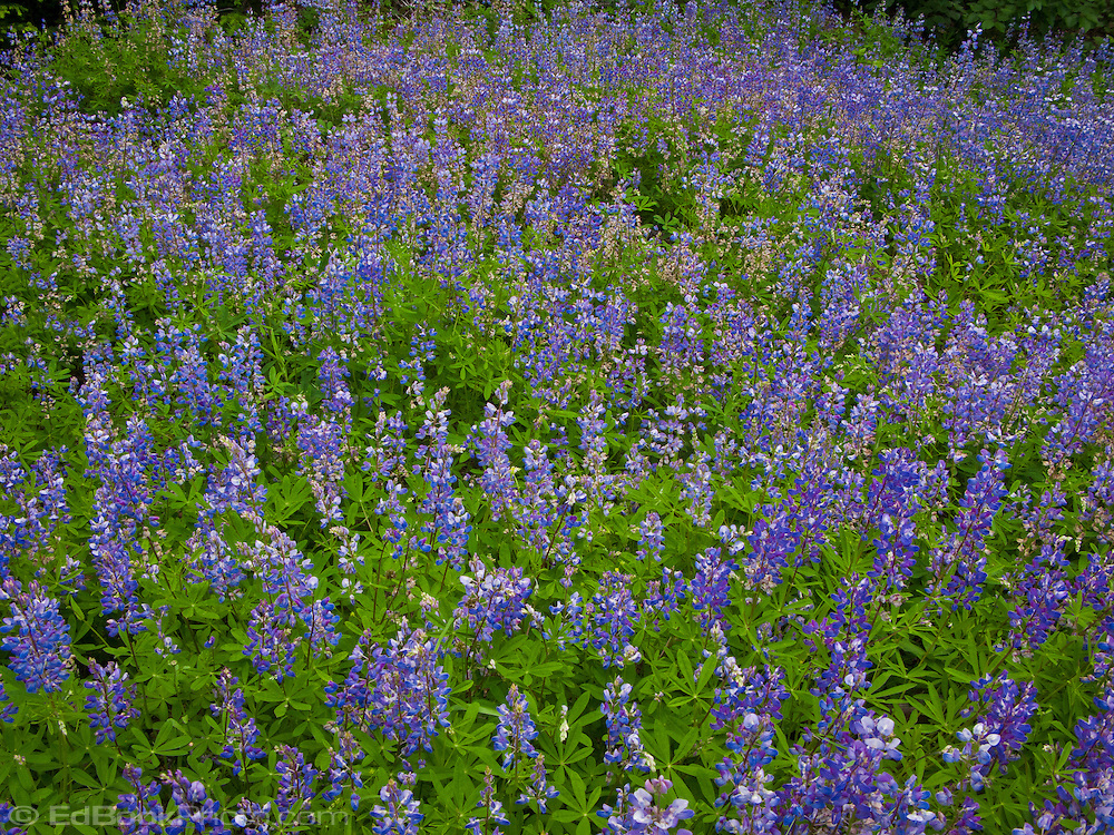lupine groundcover blooming in summer at the edge of a forest along the trail in the Tahoma State Forest, Mount Tahoma Trains, Ashford, Washington, USA