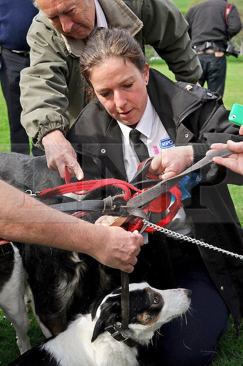 © under license to London News Pictures. 13/04/2011. Untangling 7 dog leads as 7 dogs meet for the first time in 2 years after being rescued. 10 dogs were found under the stairs in a suitcase in a house in Ukfield after the owner had stated that they did not own any dogs.The owner was later convicted. Rachel Bell (pictured) was teh lead investigator for the RSPCA. 13th of April Picture credit should read: Julie Edwards/London News Pictures