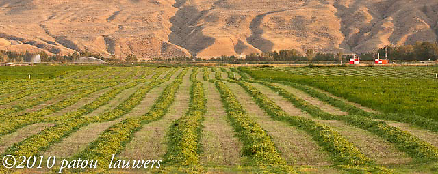 Rows of green crops