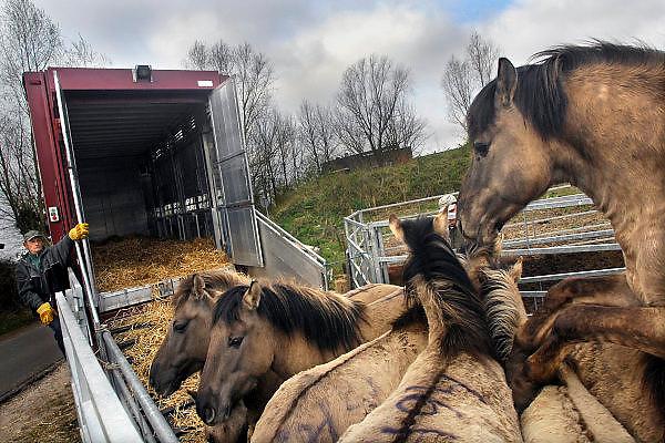 Nederland, Ooijpolder, 5-4-2007..26 Konikpaarden gaan op weg naar Letland om daar uitgezet te worden in natuurgebieden...De wilde paarden zijn in Nederland een succes. ..Stichting de Ark, die de dieren langs de oevers van de Waal beheert laat overtollige dieren verplaatsen naar nieuwe gebieden. Oorspronkelijk een ras dat in Polen leeft, Przwalsky, en dus terug naar hun historische leefgebied. ..Foto: Flip Franssen