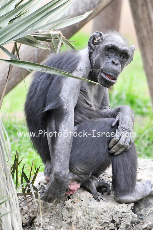 full body image of a Chimpanzee in captivity