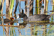 American Coot, Fulica americana, adult & chick, South Dakota