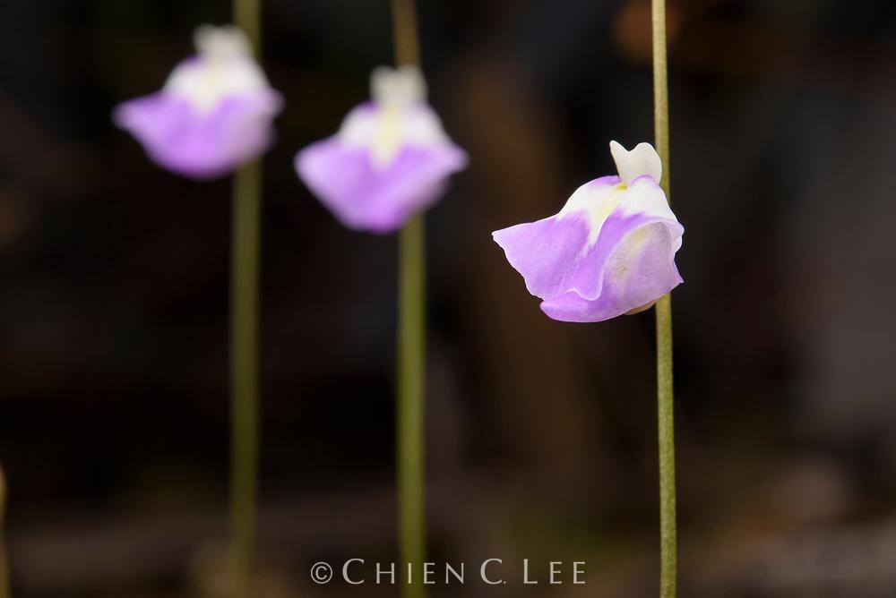 Flowers of a carnivorous bladderwort (Utricularia arenaria).