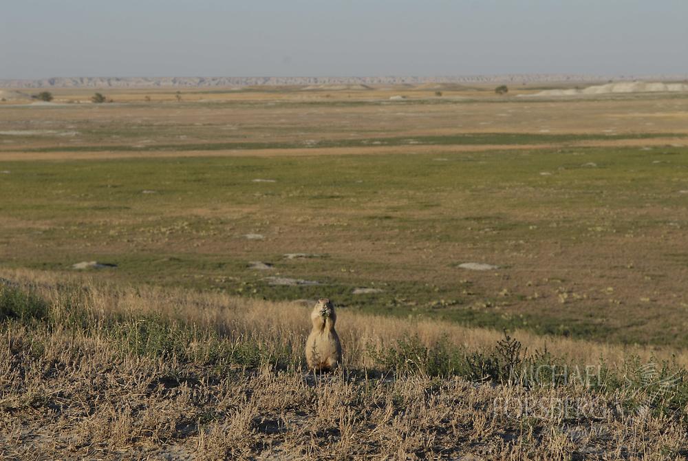 Conata Basin, Buffalo Gap National Grassland, South Dakota..Prairie dog grazes in a vast prairie dog complex, one of the largest in North America.