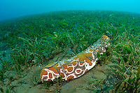 Eyed sea cucumber in eel grass, Manado, Sulawesi, Indonesia. Bunaken Marine Park and the nearby dive sites around Manado are a very popular dive destination, famous for beautiful coral reefs, marine biodiversity and vertical walls.