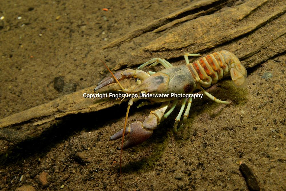 Rusty Crayfish<br /> <br /> Engbretson Underwater Photography