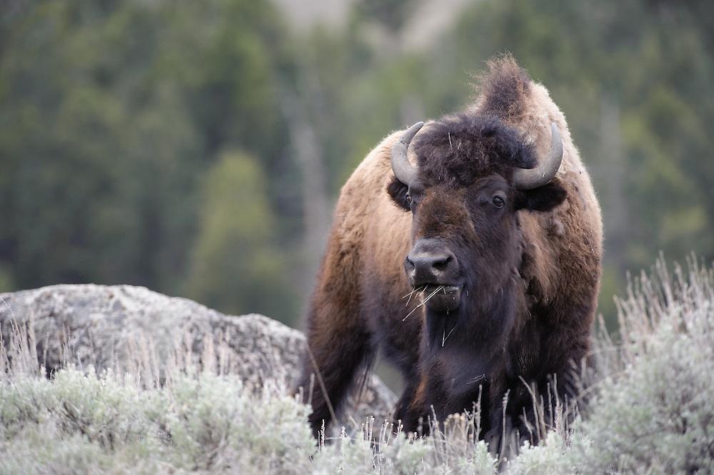 Bison(Bos bison), Yellowstone National Park, Wyoming