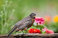 01382-05015 American Robin (Turdus migratorius) on fence near flower garden, Marion Co., IL