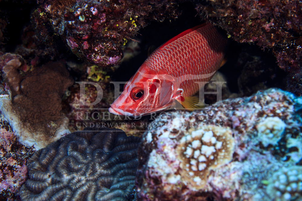 Sargocentron diadema (Crown Squirrelfish) at Palmerston Atoll in the Cook Islands.<br /> Saturday 03 January 2015<br /> Photograph Richard Robinson &copy; 2015