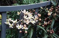 Clematis armandii growing on trellis