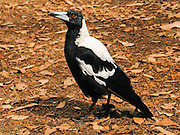 "The Australian Magpie (Gymnorhina tibicen) is a vocally-talented, medium-sized black and white bird native to Australia and southern New Guinea. A member of the Cracticidae family, it is closely related to the butcherbirds. It is a passerine bird (Passeriformes, the order of perching birds, less accurately known as ""songbirds""). The Australian Magpie is omnivorous, mostly eats invertebrates, and is territorial throughout its widespread range. It is a familiar bird of parks, gardens, and farmland in Australia and New Guinea. Magpies were introduced into New Zealand in the 1860s and have become a pest by displacing native birds. Introductions were also made to the Solomon Islands and Fiji. Photo is from Western Australia."