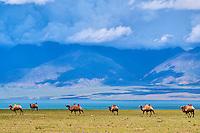 Mongolie, province de Uvs, région de l'ouest, troupeau de chameaux au lac Uureg Nuur // Mongolia, Uvs province, western Mongolia, camel herd at the lake Uureg Nuur