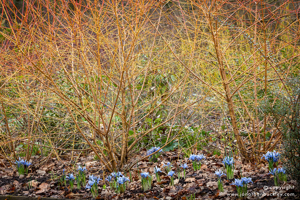 Iris reticulata 'Alida' under Cornus sanguinea 'Midwinter Fire' in the Winter Garden at Dunham Massey