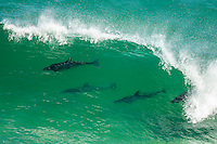 Bottlenosed Dolphins surfing the waves, Robberg Marine Protected Area, Western Cape, South Africa