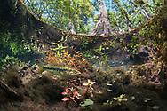 Suwannee Bass<br /> <br /> Isaac Szabo/Engbretson Underwater Photography