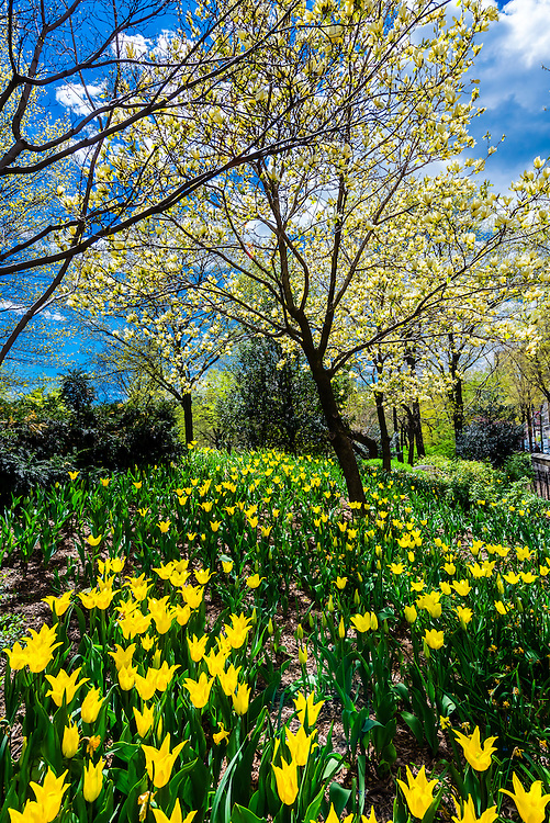 Flowers and trees in Central Park in bloom in springtime, New York, New York USA.
