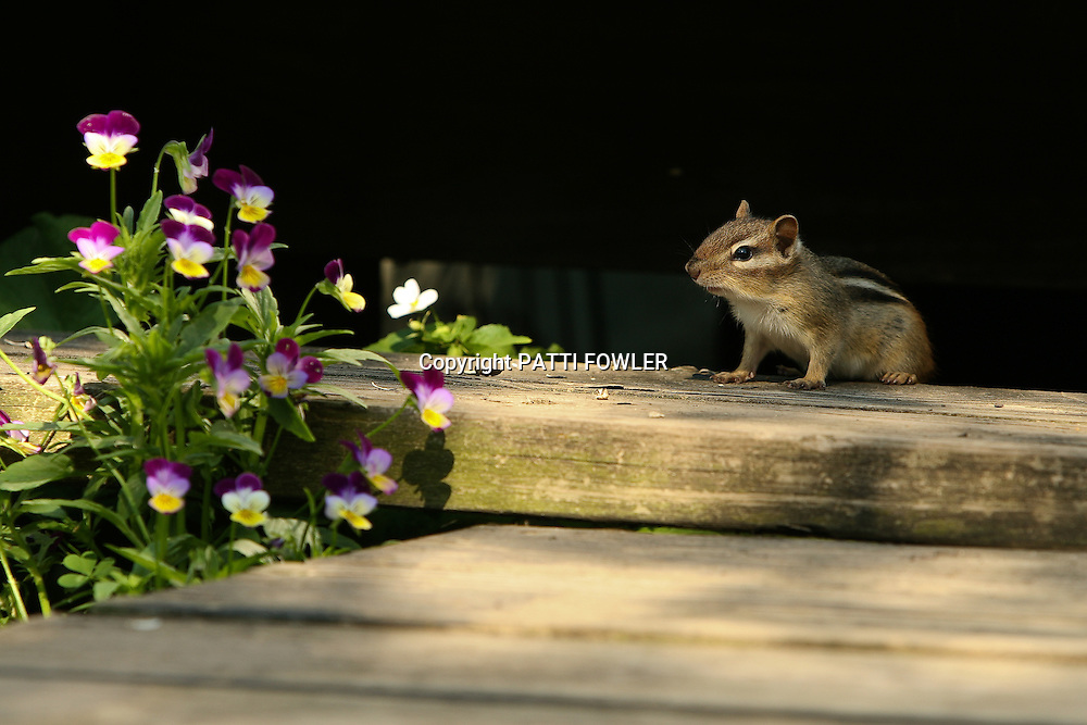 chipmunk on wooden step with violas