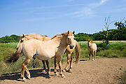 Norfolk Wildlife Trust Konik ponies at Hickling, United Kingdom