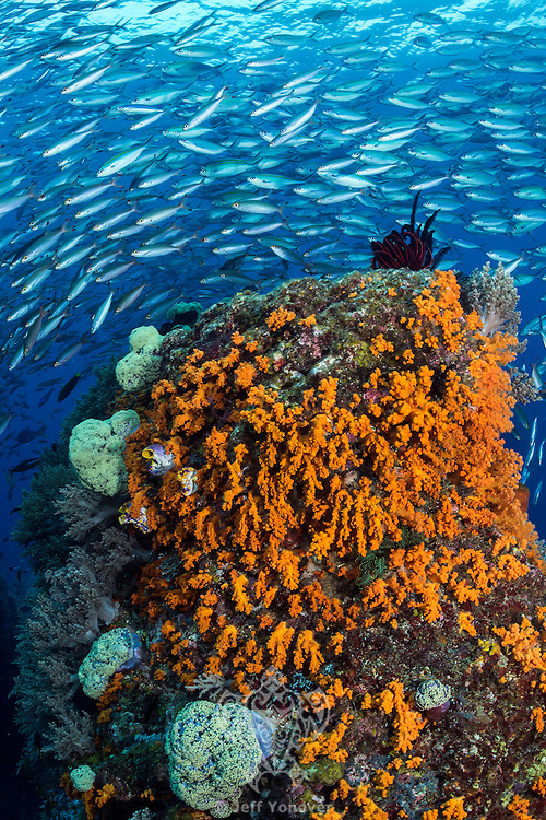 Schooling Fusiliers bunch up over a Soft Coral encrusted column<br /> <br /> <br /> Shot in Raja Ampat Marine Protected Area West Papua Province, Indonesia