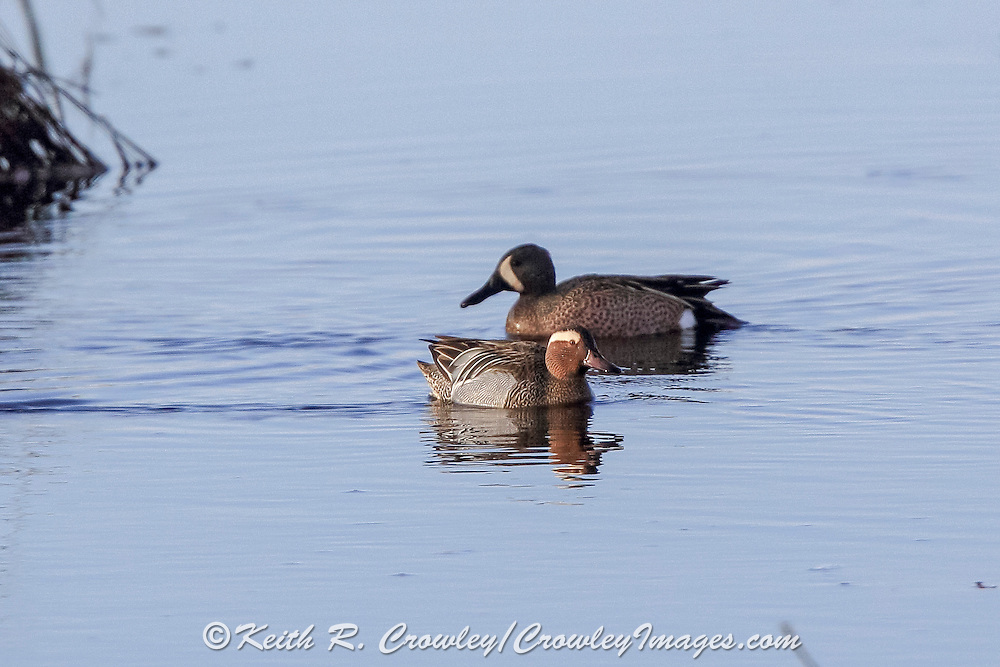 A male Garganey (front), usually found in Europe and western Asia, makes a rare visit to North America at Crex Meadows State Wildlife Area near Grantsburg, Wisconsin where it swims with a native Blue-winged teal. This is the first reported instance of the species in the state.