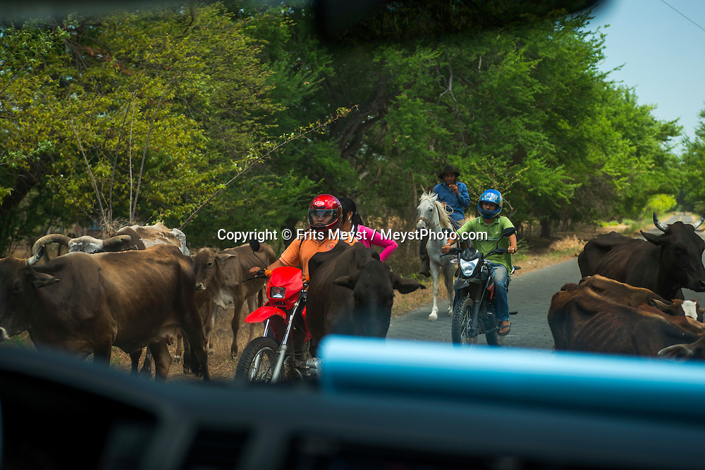 Isla Ometepe, Nicaragua, May 2014. local traffic with cattle. Ometepe, an island composed of two volcanoes in Lake Nicaragua. Over the northern half of Ometepe looms the Concepción, perfectly cone-shaped active volcanoe, while the southern half is dominated by the extinct volcano Maderas. Central America's largest and least populated country consists of lakes; volcanoes and Spanish colonial cities. Photo by Frits Meyst / MeystPhoto.com