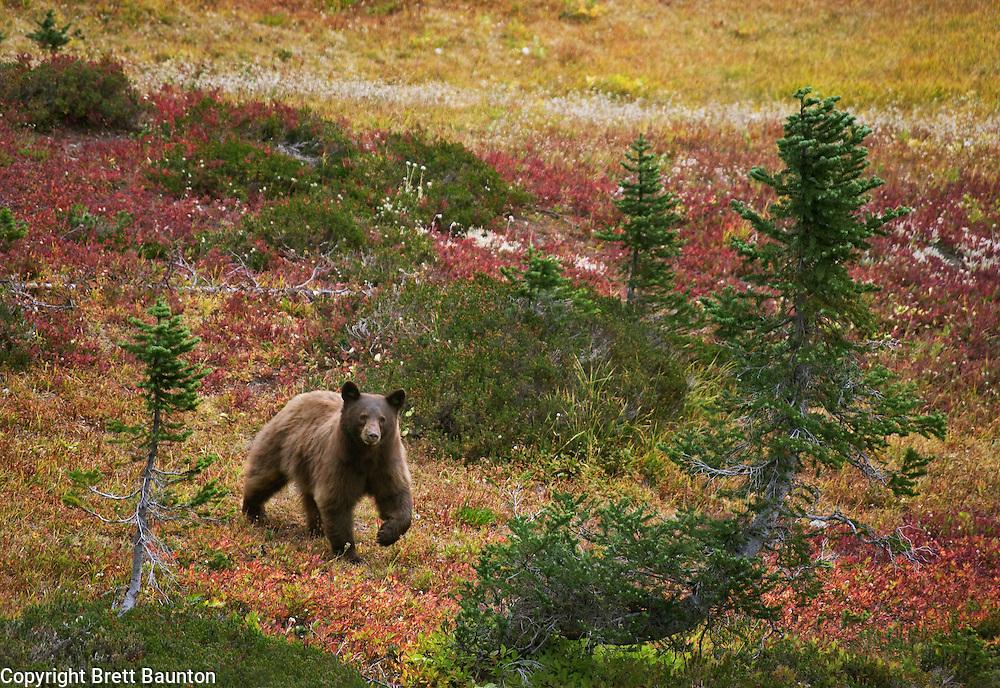 Cinnamon colored Black Bear in the North Cascades, Maple Pass, WA
