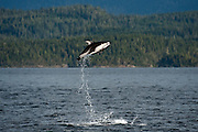 Pacific White-sided Dolphins, Lagenorhynchus obliquidens, jump near Johnstone Strait, British Columbia, Canada. Image available as a premium quality aluminum print ready to hang.