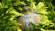 """The silvereye, also known as wax-eye, or white-eye, has a conspicuous white ring around the eye, thus giving the bird it's name. The head and upperparts are olive green with a grey band across the back which extends around the chest. The under parts are a peachy brown with white under the tail. They are quite attractive and colorful birds when seen through the lens.<br /> <br /> Silvereyes feed on a variety of foods, invertebrates, fruit, and nectar and will feed in flocks over winter in gardens and parks from bird tables, eating fats, cooked meats, and bread and sugar water. They have a specially adapted tongue, with bristles, which allows them to lap up nectar. They prefer the fruit of native trees but do feed on other fruiting species.<br /> <br /> Silvereyes stay in pairs all year but in the winter they form big flocks, often flying at night in search of food. As the breeding season approaches the pairs break away to form individual territories and the first year birds pair up. Prolific breeders, they raise 2-3 broods per season, with between 2-5 eggs per brood. Both adults incubate for about 11 days and the chicks fledge at about 10 days. The young are independent at 3 weeks and will breed at about 9 months old. They have recorded that these little birds can live up to 12 years.<br /> <br /> The Silvereye is found throughout New Zealand as well as Australia, and some of the southwest Pacific Islands including Fiji. The scientific name is Zosterops lateralis and it also called Wax-eye or White-eye. Its Maori name is Tauhou, which means """"little stranger"""". The Silvereye was first recorded in New Zealand in 1832, however, arrived in greater numbers in 1856.<br /> ©Andrea Lightfoot/Exclusivepix"""