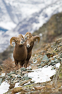 Pair of young bighorn sheep rams on altyn Ridge in the Many Glacier Valley of Glacier National Park in Montana