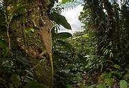 Helmeted iguana (Corytophanes cristatus), Cocobolo Nature Reserve, Panama