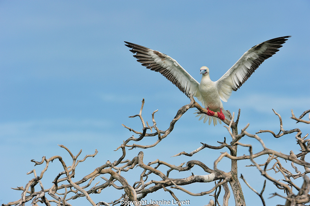 Red footed Booby taking off on pattern of bare branches.