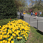 Runners jog past a bed of daffodils during a warm spring day in Central Park, Manhattan, New York, USA. Photo Tim Clayton