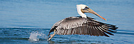 A Brown Pelican in winter plumage takes off from the surface of the water, wings spread