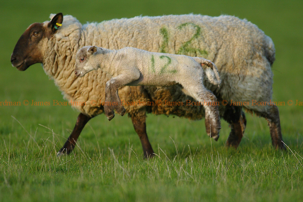 JAMES BOARDMAN / 07967642437 - 01444 412089 .A spring lamb skips alongside its mother at Tutts farm Hustpierpoint, West Sussex. . .