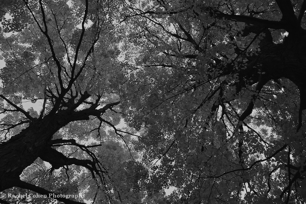 &quot;Reach&quot; B&amp;W<br /> <br /> Reaching high into the sky, these lovely and ancient huge trees make a wonderful contrasting scene in black and white!!<br /> <br /> Black and White images by Rachel Cohen