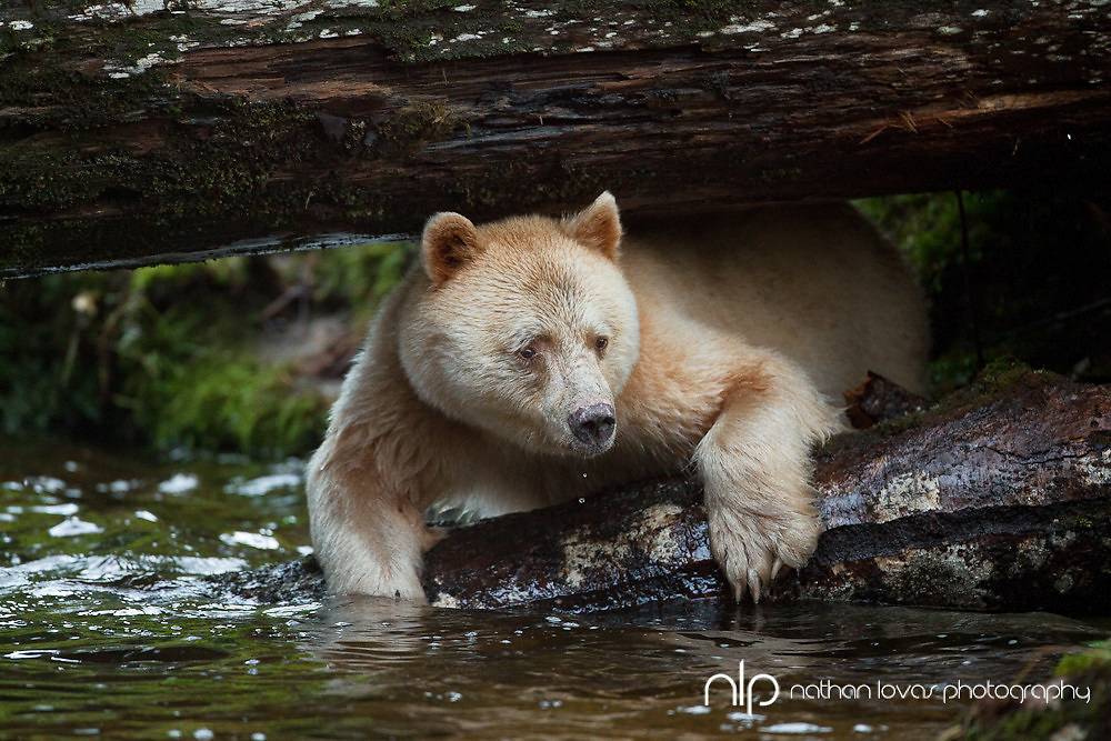 Spirit Bear climbing under fallen tree in river while looking for salmon;  British Columnia in wild.