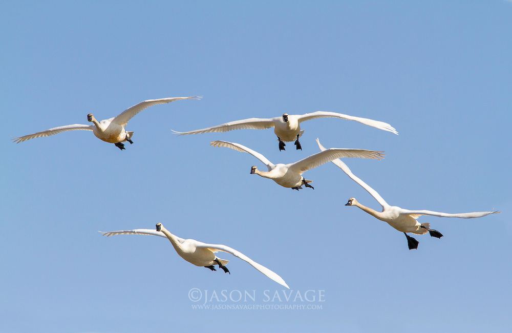 Tundra Swans prepare for a landing on Lake Helena, Montana.