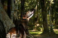 An Okapi johnstoni, or Okapi, DR Congo's national symbol, and the logo of the Congolese wildlife authority, displays its long, purple tongue. The endangered animal is most closely related to the giraffe, and is often referred to as the 'forest giraffe'.  An estimated 30,000 survive in the wild, all presumed to be located in the Ituri Rainforest. The Okapi Reserve Capture and Breeding station, a project of Gilman International Conservation, studies, tags, and breeds the exotic animals.